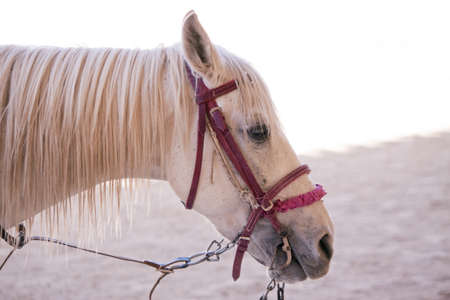 White horse with red headstall