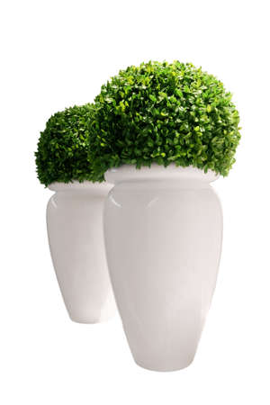 Vases with buxus isolated on white background (Buxaceae family)