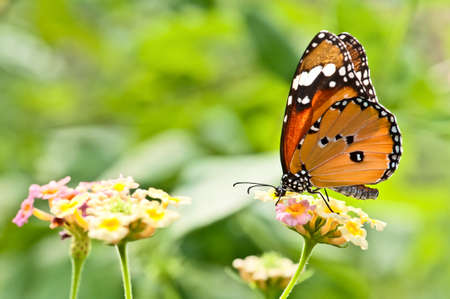 Beautiful butterfly stay on a flower photo