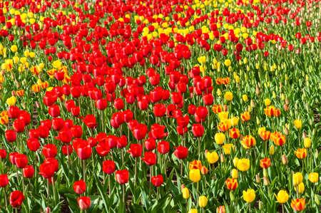 Field of multi color tulips photo