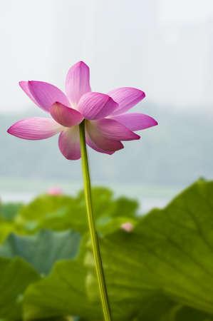 Beautiful lotus Stock Photo - 14942226
