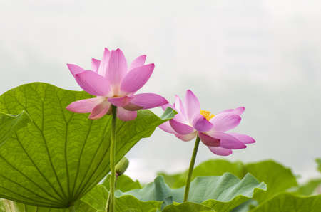 Two blooming lotus in the garden photo