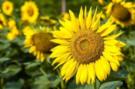 Closeup of the beautiful sunflowers photo