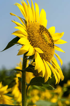 Closeup of blooming sunflower in the field photo