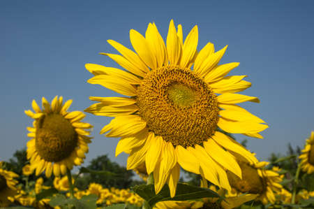 Closeup of blooming sunflower photo