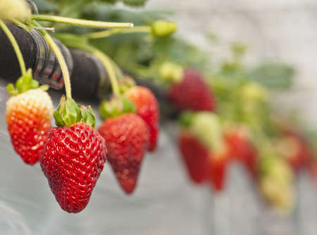 matured: Matured strawberry Stock Photo