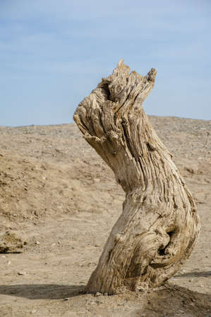 gobi desert: Dead tree trunk in the Gobi Desert