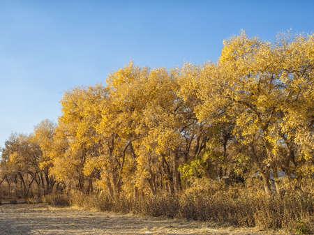 poplars: Diversifolious Poplars in autumn