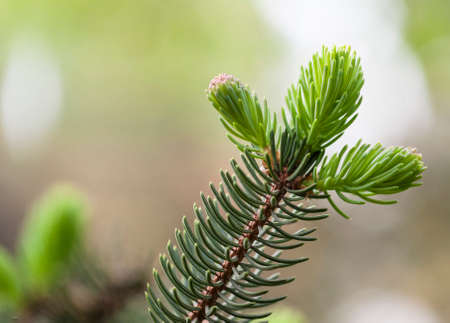 branche pin: Grandir branche de pin au printemps