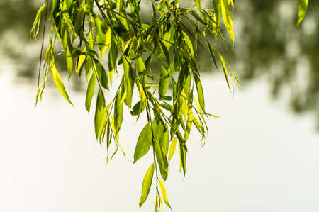 willow tree: Willow branch at the lakeside Stock Photo