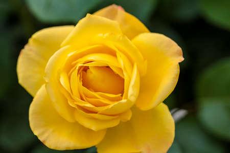 china rose: Blooming China rose