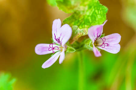 mozzie: The closeup stamen of mozzie buster flower