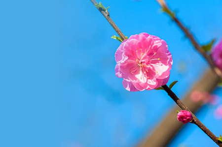 A peach flower against blue sky photo