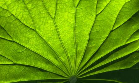 The texture of lotus leaf