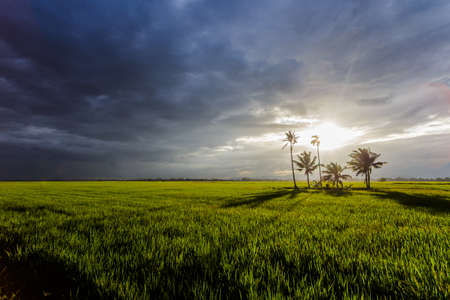 padi: Paddy field in dramatic weather and cloud Stock Photo