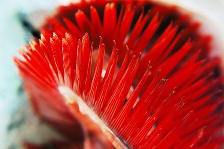 escamas de peces: Macro foto de una escamas de los peces con agallas rojas