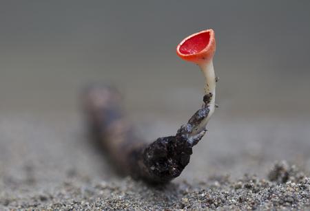 mycology: fungi - scarlet elf cup Stock Photo
