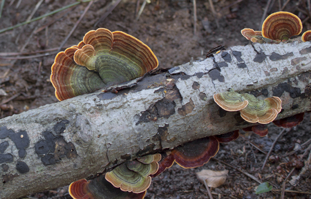 fungi: fungi - Trametes versicolor Stock Photo