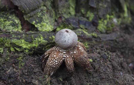mycology: fungi - Astraeus hygrometricus Stock Photo