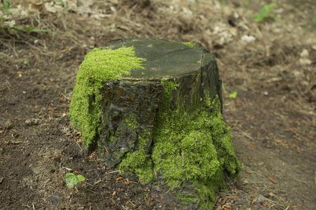 tree stump: tree stump Stock Photo
