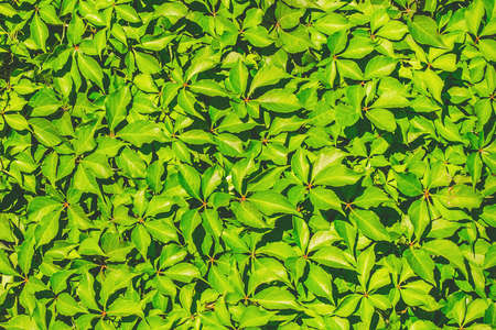 Green leaves for decoration of the facade and interior of the summer terrace texture background.