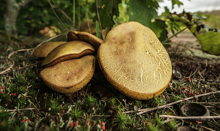 A cluster of wild Xerocomus subtomentosus mushrooms.