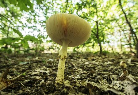 Amanita muscaria var guessowii Gills. Flushing, Michigan.
