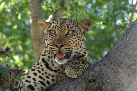 Leopard on the lookout from his tree in South Africa