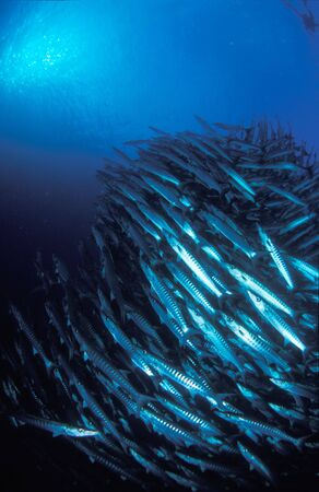 barracuda: Barracuda
