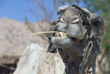 sharm el sheik: Camel in Egypt