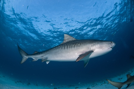 bahama: Tiger shark, side view, Bahamas Stock Photo