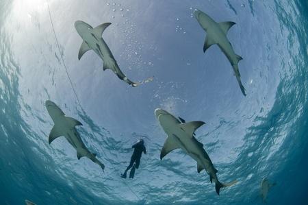 sharks: Lemon sharks at surface Stock Photo