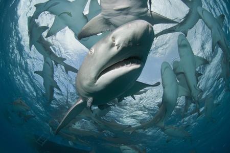 Close up of a lemon shark, Bahamas Stock Photo - 9122990