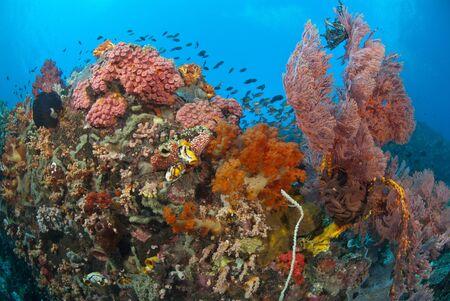 basslet: Peces de hadas porque en una escena de arrecife general, Raja Ampat, Indonesia, la llama Foto de archivo