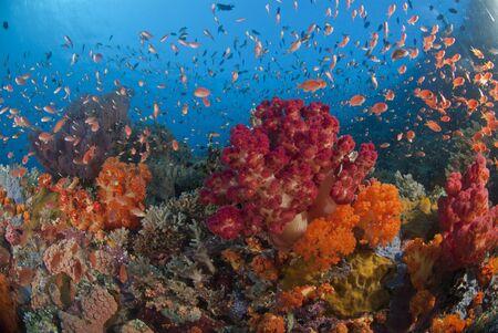 basslet: Ventilador corales y peces en un arrecife colorido, Raja Ampat, Indonesia