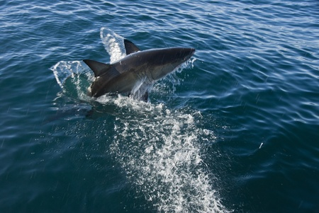 breaching: Great white shark breaching, Gansbaai, Western Cape, South Africa