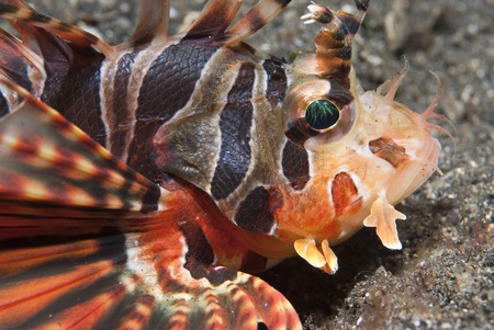 common lionfish: Juvenile common lionfish (Pterois volitans), Sulawesi, Indonesia