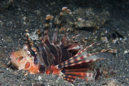 Juvenile common lionfish (Pterois volitans), Sulawesi, Indonesia photo