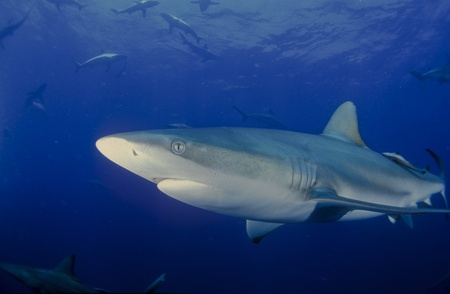 bull shark: Close up of bullshark Stock Photo