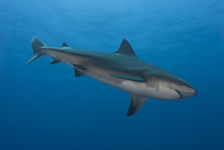 bull shark: Bullshark, side on, Ponto dOuro, Mozambique