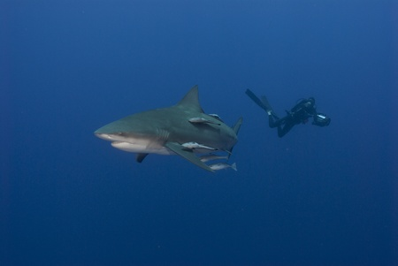 bull shark: Bullshark and diver, Ponto dOuro, Mozambique Stock Photo