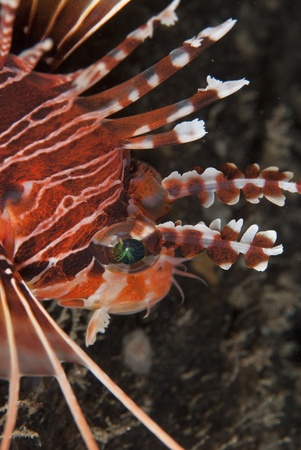common lionfish: Common lionfish (Pterois volitans), Mayu Island, Indonesia Stock Photo