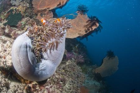 mutualism: Western clown-anemonefish and host, Raja Ampat, Indonesia