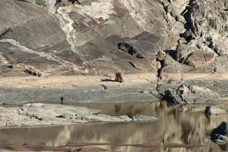 rsa: Baboon by waters edge