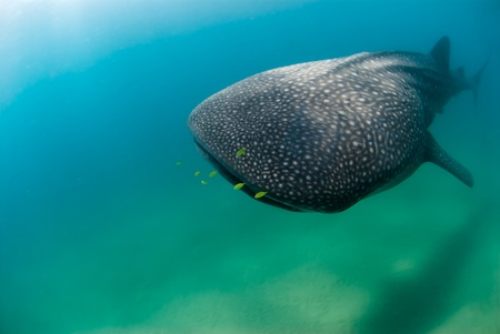 symbiosis: Huge whaleshark and fish