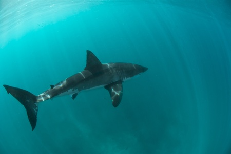 Great white shark underwater, Gansbaai, Western Cape, south Africa Stock Photo - 9497218