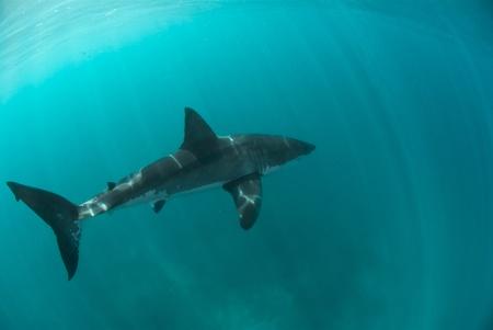 Great white shark underwater, Gansbaai, Western Cape, south Africa Stock Photo - 9497218
