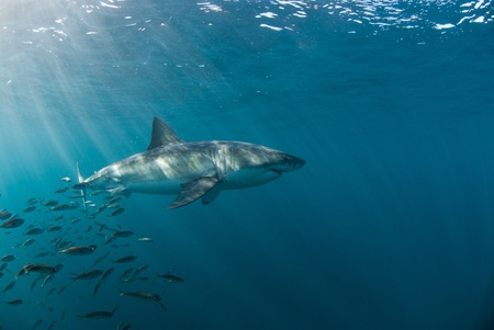 white shark: Great white shark underwater, Gansbaai, Western Cape, south Africa