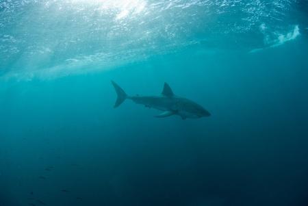 Great white shark underwater, Gansbaai, Western Cape, south Africa Stock Photo - 9497219