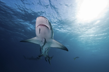 sharks: Suckerfish feeding off a lemon shark, Bahamas